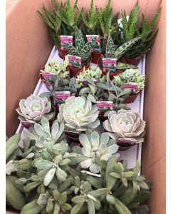 "3.25"" Succulents"