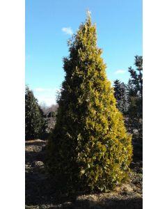 Sunkist Cedar