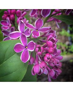 French Lilac Sensation Lilac