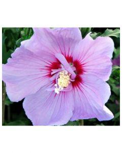 Tahiti Rose of Sharon
