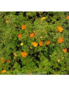 Tangerine Cinquefoil