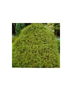 Threadleaf False Cypress