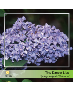 Tiny Dancer Lilac