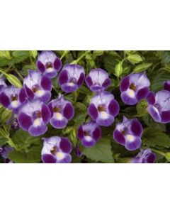Torenia Moon Purple