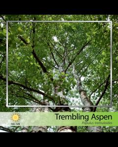 Trembling Aspen