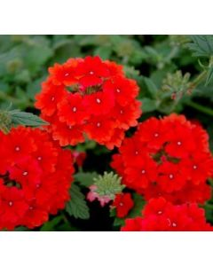 Verbena Estella Red