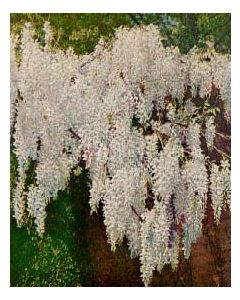 White Flowering Wisteria