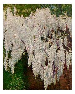 White Flowering Wisteria