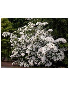 White Wonder Dogwood