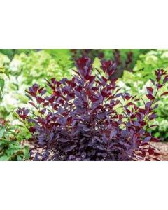 Winecraft Black Smokebush