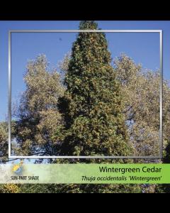 Hetz Wintergreen Cedar