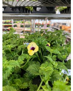 Torenia Moon Yellow