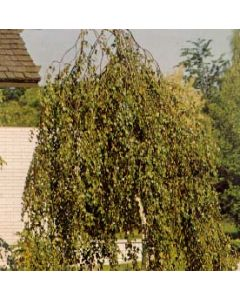 Youngs Weeping Birch