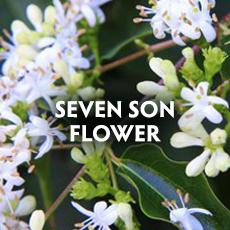 Seven Son Flower