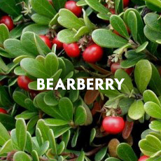 Bearberry