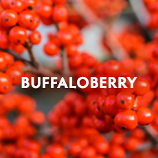 Buffaloberry