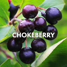 Chokeberry