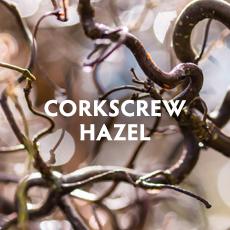 Corkscrew Hazel