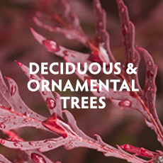 Deciduous & Ornamental Trees