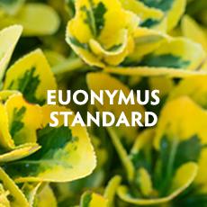 Euonymus Standard
