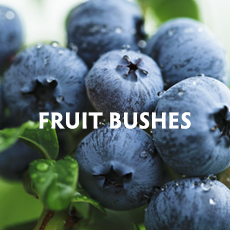 Fruit Bushes