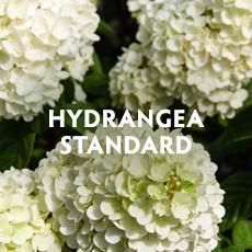 Hydrangea Standard