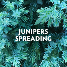 Junipers - Spreading