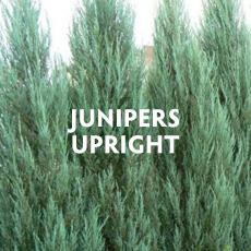 Junipers - Upright