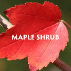 Maple Shrub