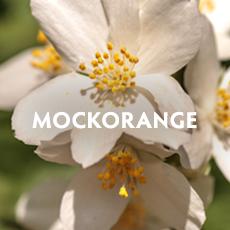 Mockorange