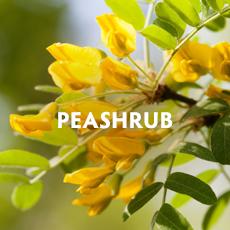 Peashrub