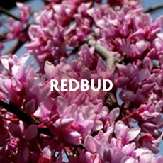 Redbud Shrub