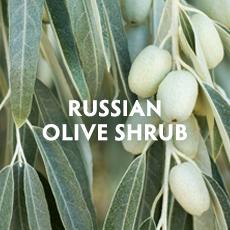 Russian Olive Shrub