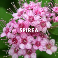 Spirea