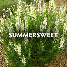 Summersweet