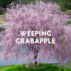 Weeping Crabapple